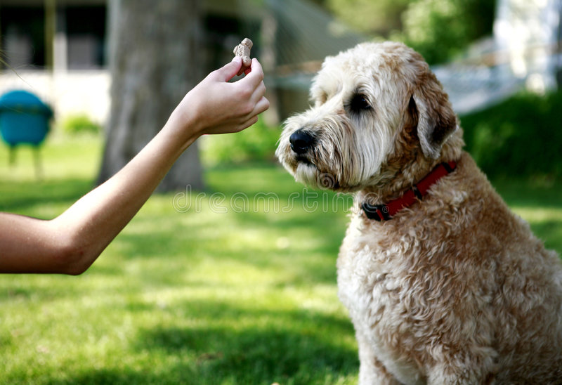 Feeding dog. A view of a human hand holding a bite of food and a Wheaton Terrier dog watching it very closely