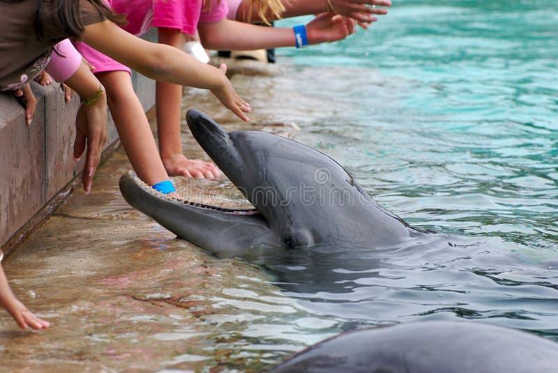 Feeding dolphin royalty free stock photo