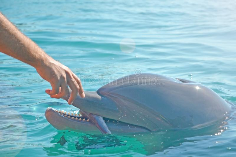 Feeding dolphins in Eilat, Israel. human hand and head dolphin with fish.  stock photo