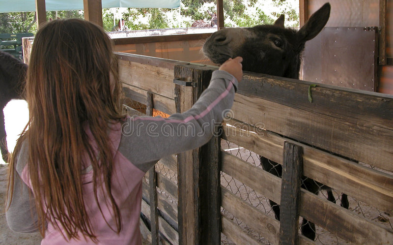 Feeding the donkey with carrots. At the friends of donkeys farm in Cyprus stock image