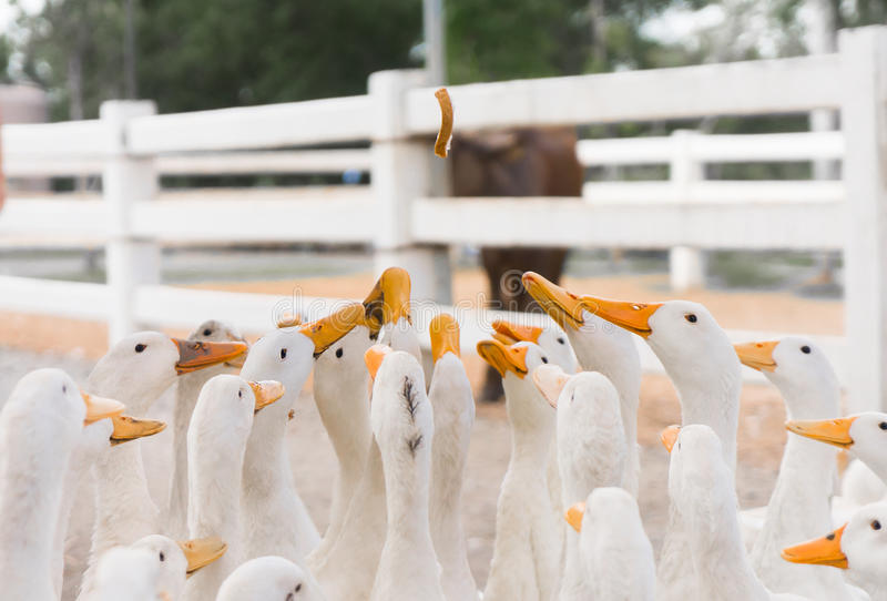 Feeding and Dropping food for big group of white ducks in local farm. Focus in the middle stock image