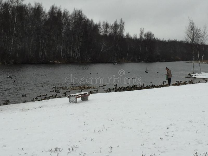 Feeding ducks on the river in winter. In the winter on the river bank a man feeds a duck royalty free stock image
