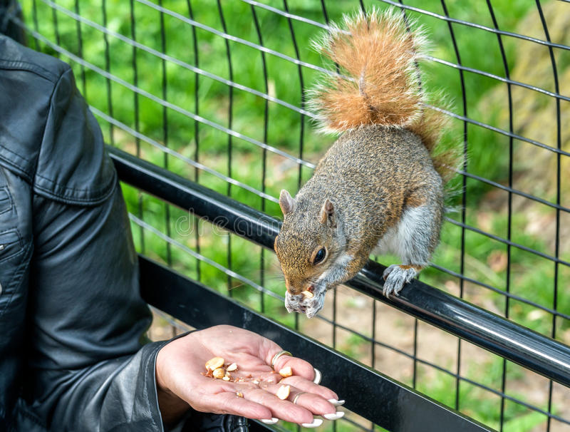 Feeding an Eastern Gray Squirrel in New York City, USA royalty free stock image
