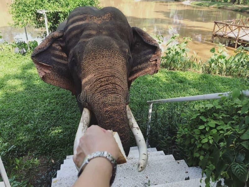 Feeding an elephant royalty free stock photos