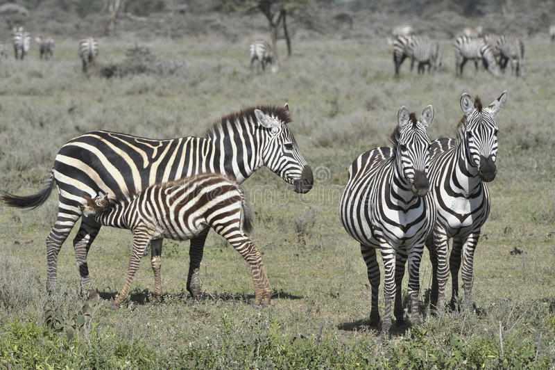 Feeding of a foal of a zebra.
