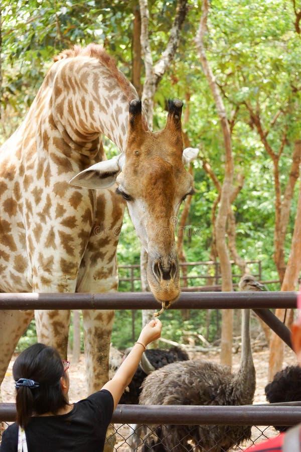 Feeding food to giraffe stock images