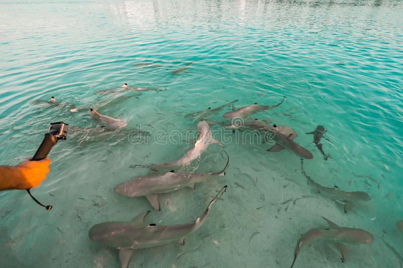 Feeding frenzy of blacktip reef sharks in the Maldives, as a male hand uses an action camera to film the sharks stock image