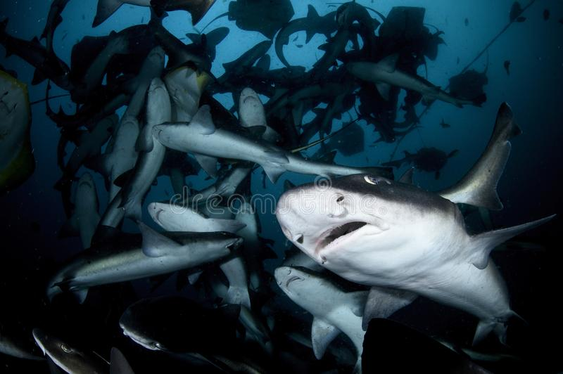 Close up photo of banded hound shark in feeding frenzy. Feeding frenzy with hundreds of sharks royalty free stock image