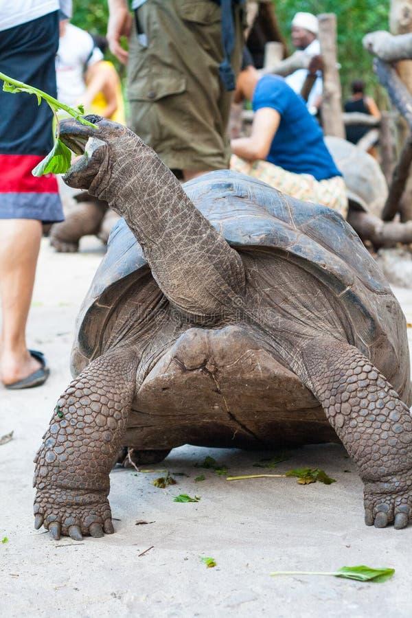 Feeding Galapagos turtle stock photos