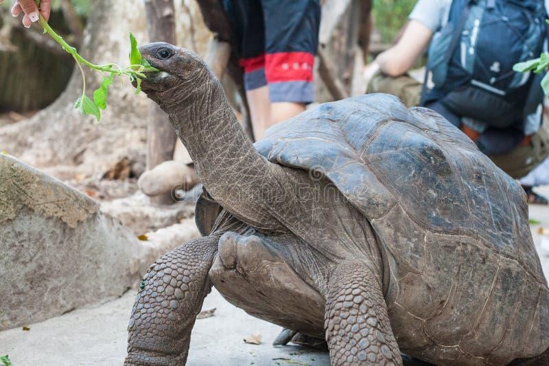Feeding Galapagos turtle royalty free stock image