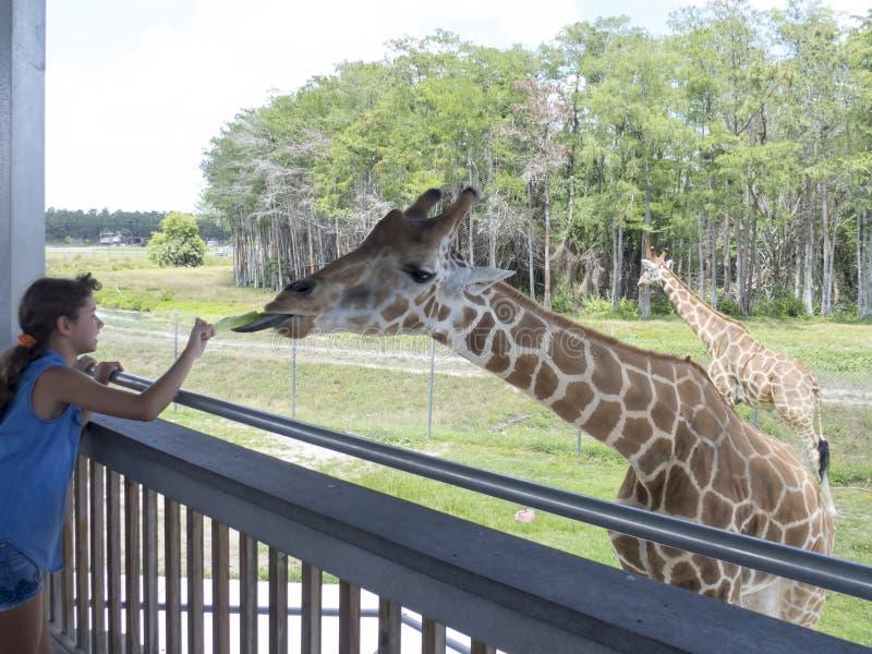 Feeding the giraffe stock photos