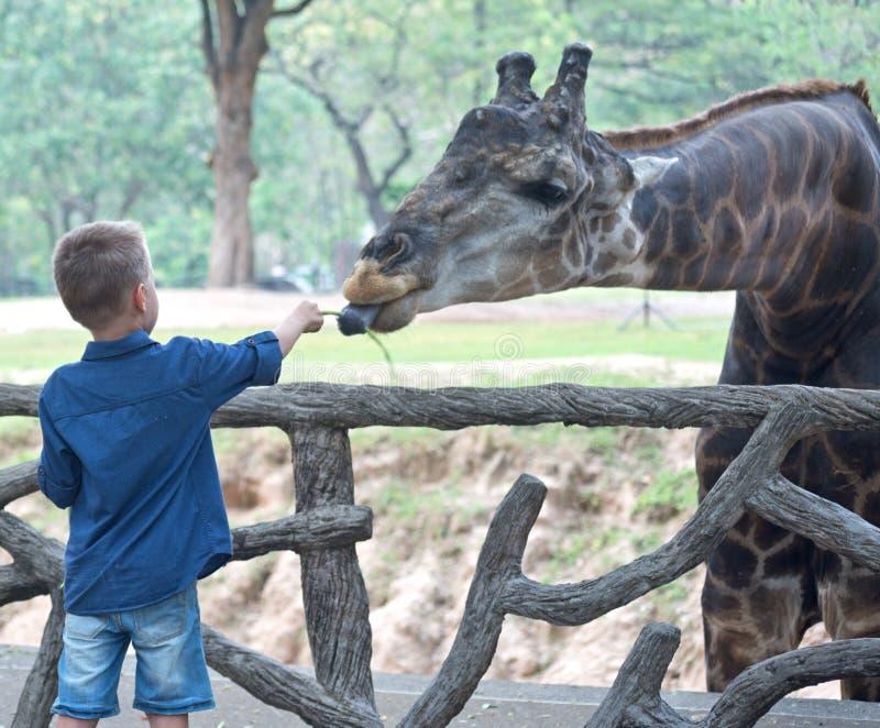 Feeding giraffe in zoo stock image