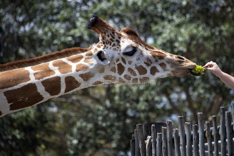 Feeding a Giraffe stock photos
