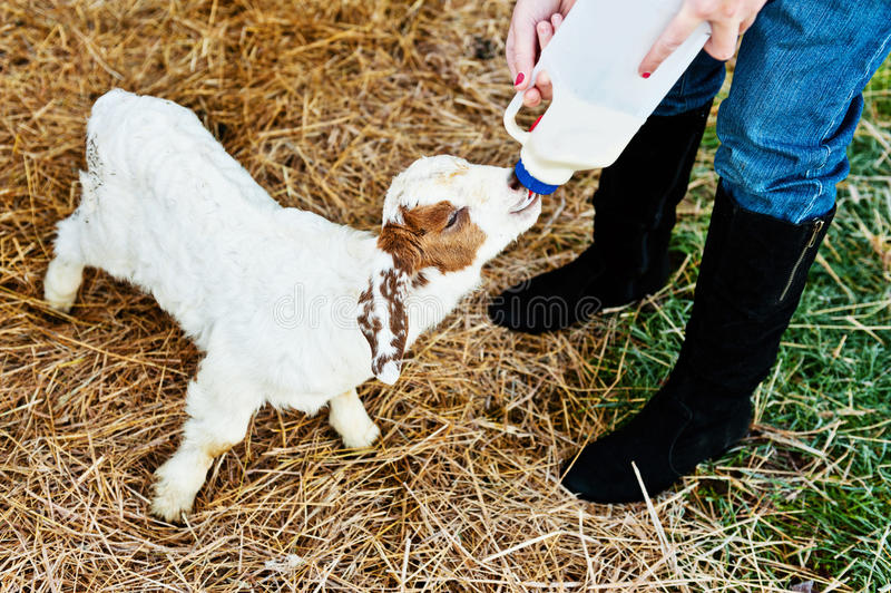 Download Feeding a goat on the farm stock photo. Image of food - 31842886