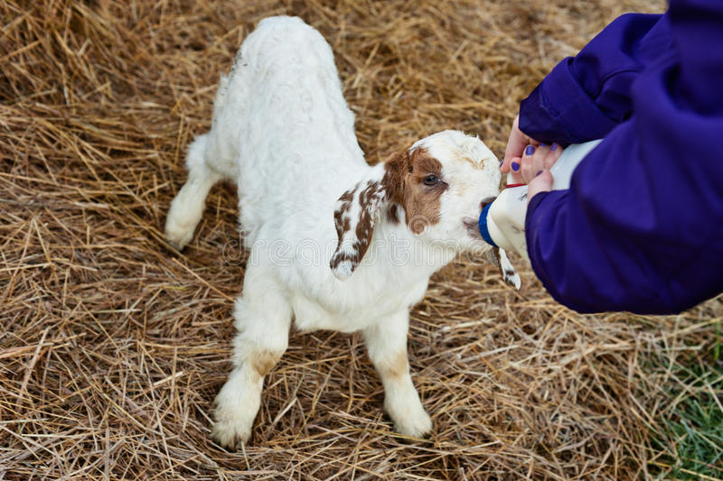 Download Feeding a goat on the farm stock image. Image of rural - 31842907