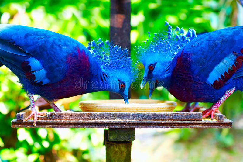 Feeding of a group of western and victorian crowned-pigeon, exotic bird royalty free stock images