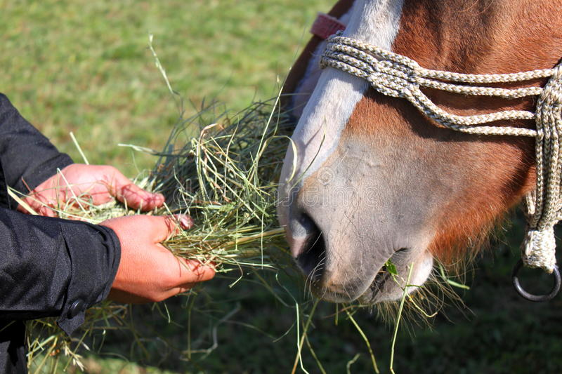Download Feeding horse stock photo. Image of cute, green, dried - 34357748