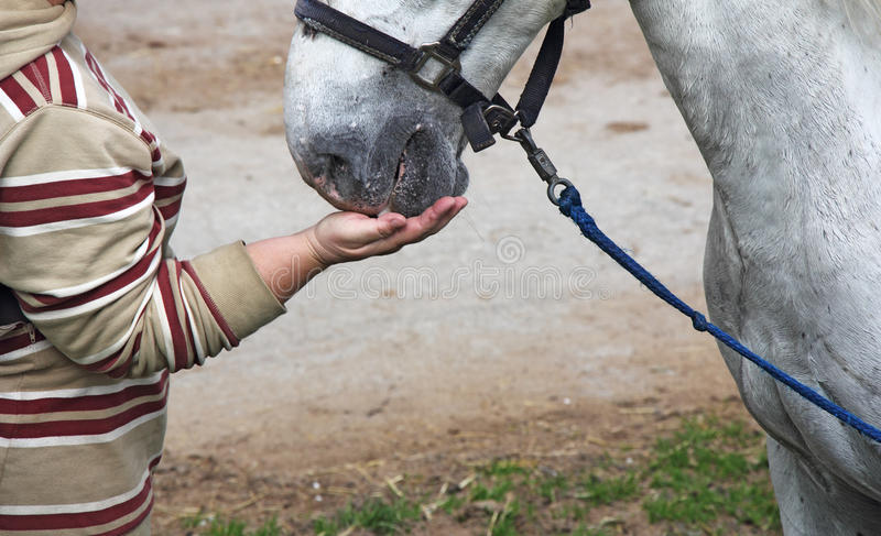 Feeding the horses. Horsewoman feeding white horse out of hand stock photo