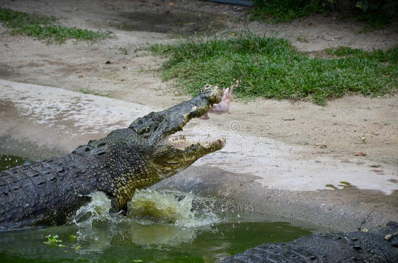 Feeding huge crocodiles sitting in the green water near the shore. Crocodile catches whole chicken on the fly. Feeding huge crocodiles sitting in the green water stock photos