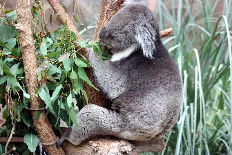 Download Feeding koala stock image. Image of cinereus, leaves - 13819561