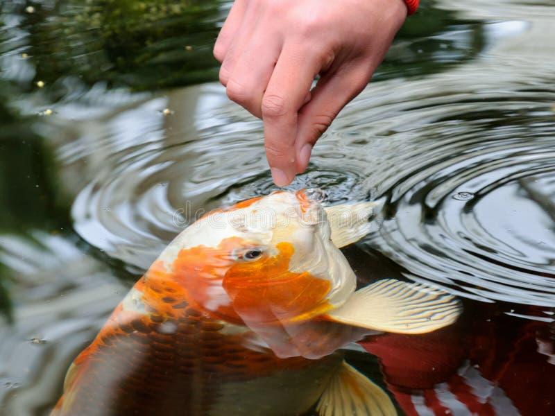 Feeding koi carp stock photos