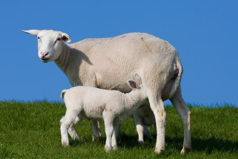 Feeding lamb royalty free stock photo