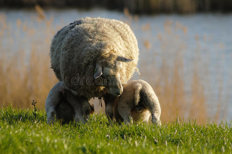 Download Feeding lambs stock image. Image of siblings, babies - 13989617