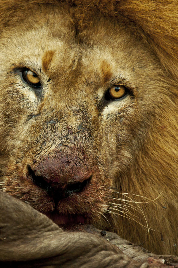 Male lion feeding on a wildebeest royalty free stock photography
