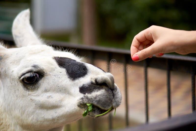 Feeding llama by hand stock photo