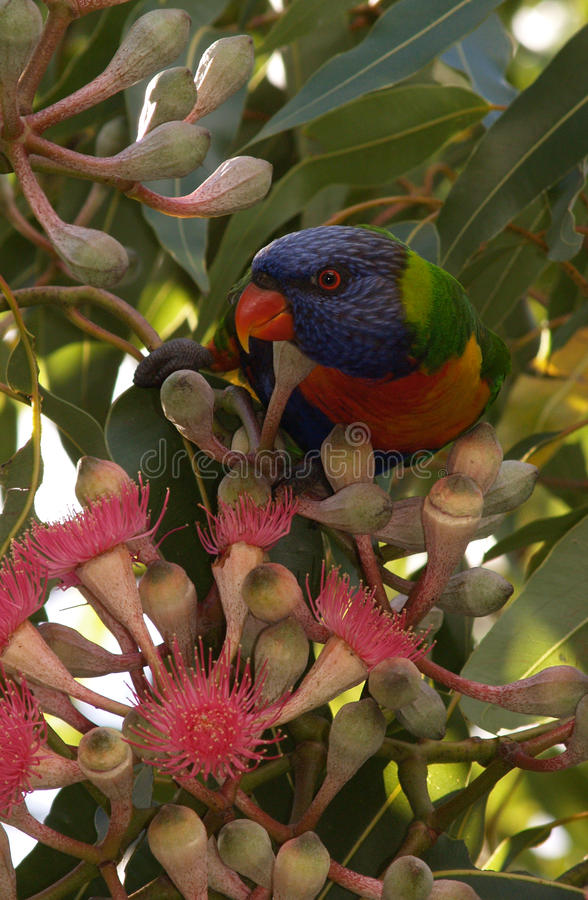 Feeding Lorikeet royalty free stock images