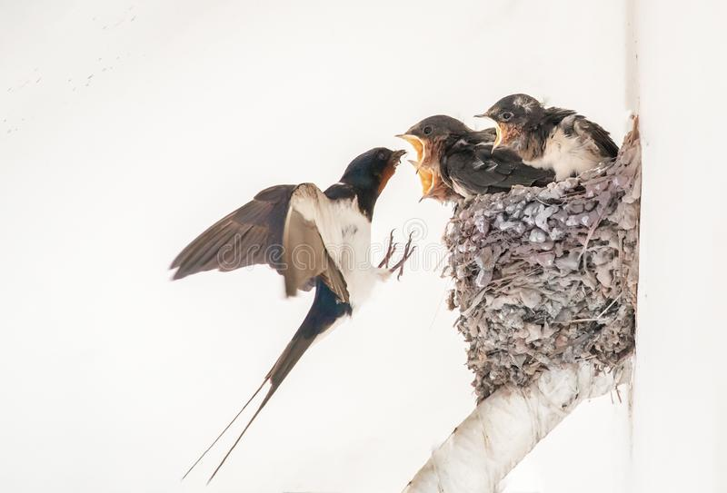 Feeding me! I am hungry too. Baby swallows staying in nest, their mother goes out, searching food and taking food back to feed her baby, but each time, she can