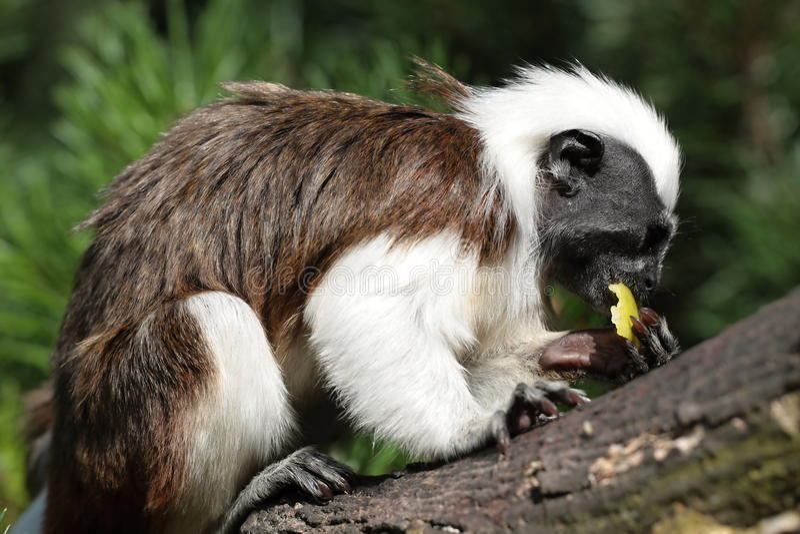 Feeding monkey apple royalty free stock photos