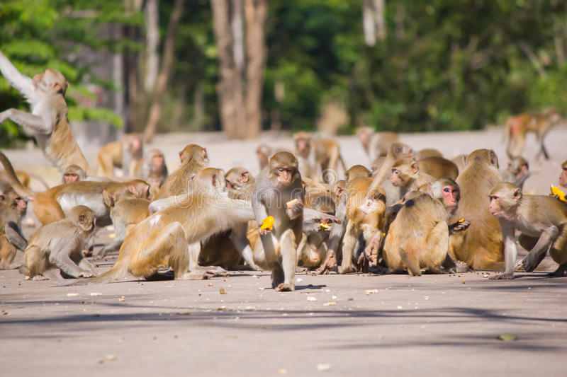 Feeding the monkeys. Feeding the monkeys stock photography