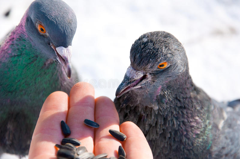Feeding pigeons from hand stock image