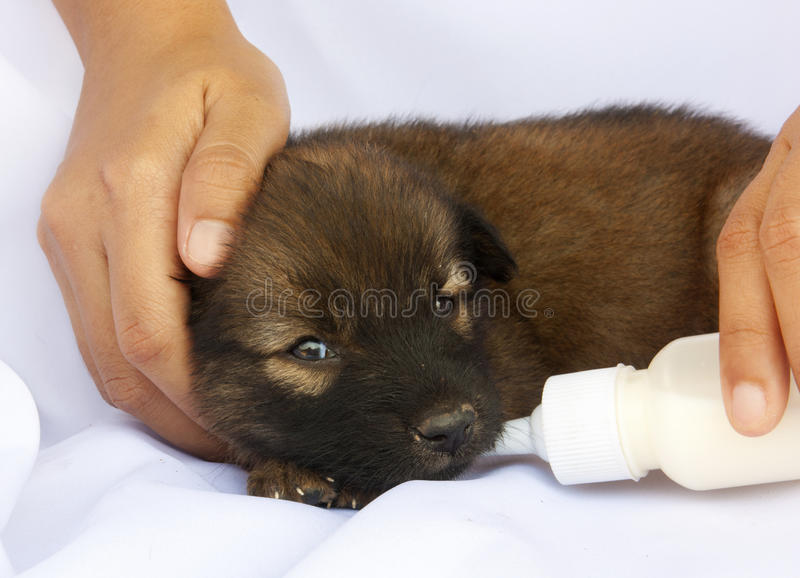 Feeding puppy with a baby bottle stock photo