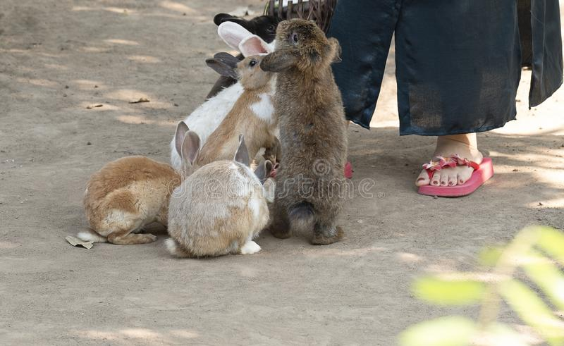 Feeding rabbits at a pet zoo. Cute little rabbits begging for food from a visitor at the petting zoo.  Animals activity focusing with a small part of an royalty free stock image