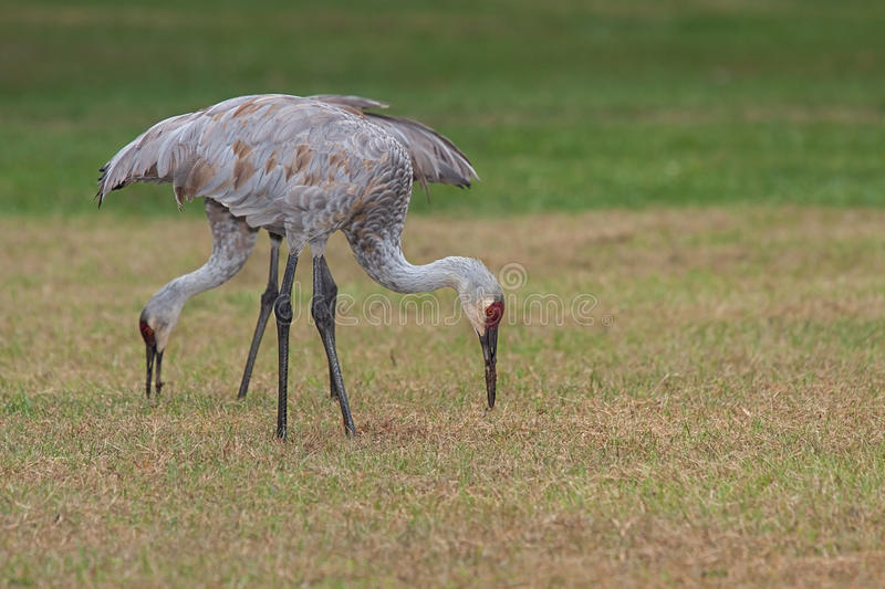 Feeding Sandhill Cranes. Two sandhill cranes, one in front of the other, bend and contort their long necks to probe the grasses of a meadow stock image