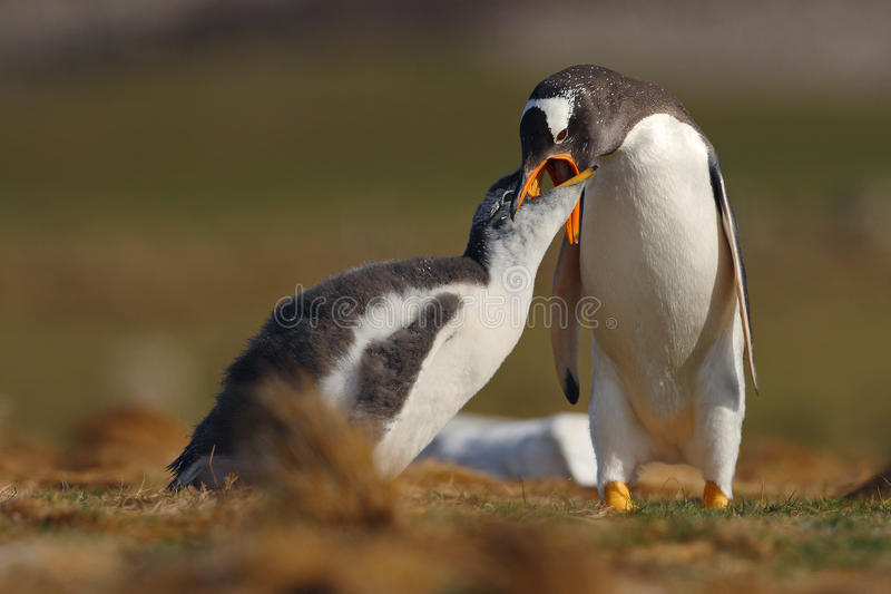 Feeding scene. Young gentoo penguin beging food beside adult gentoo penguin, Falkland Islands. Penguins in the grass. Young stock photography