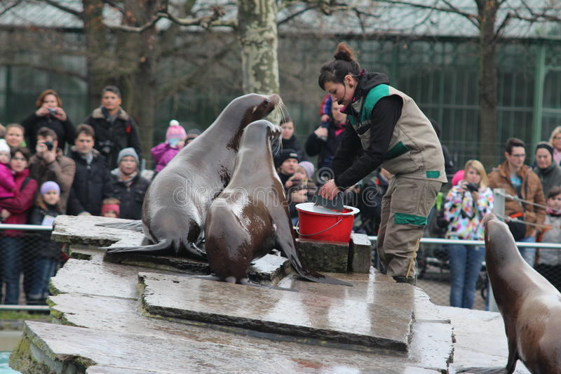 Feeding Sea Lions stock image