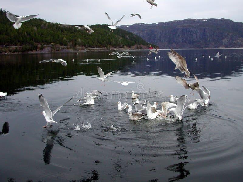 Feeding seagull stock photos