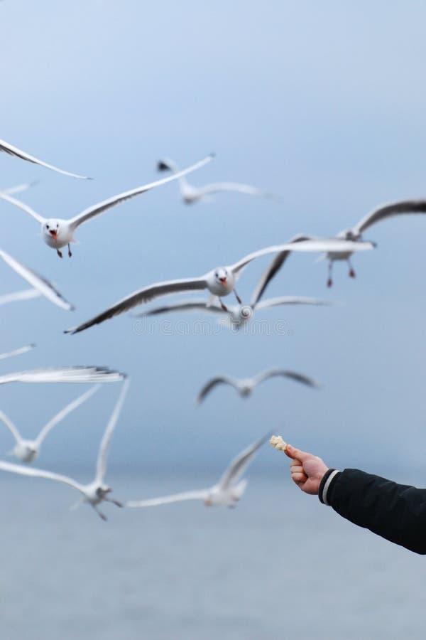 Feeding the Seagulls royalty free stock image