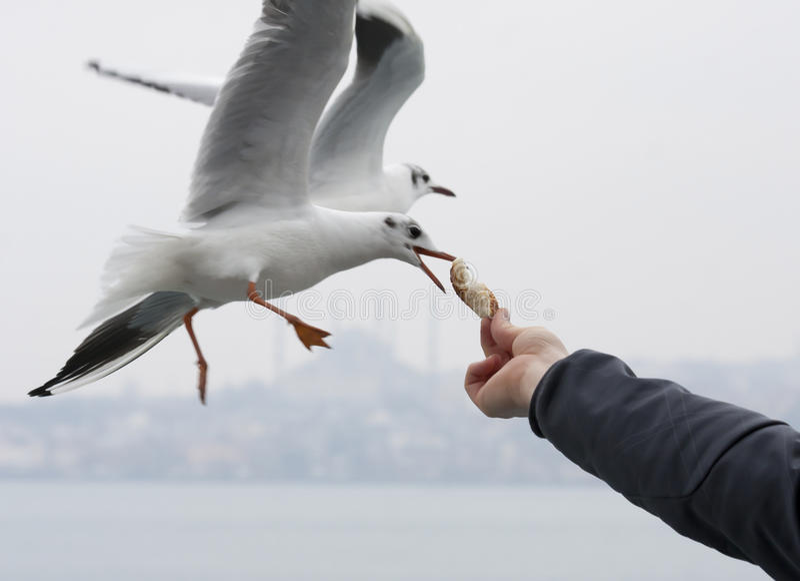 Feeding seagulls. In Istanbul Turkey