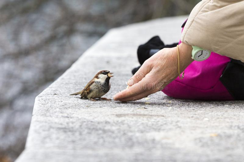 Feeding sparrow in a hard winter stock photos
