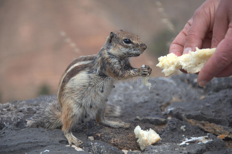 Feeding the squirrel royalty free stock photo