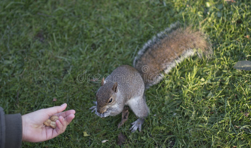 Feeding the squirrel at Valentines park royalty free stock photos