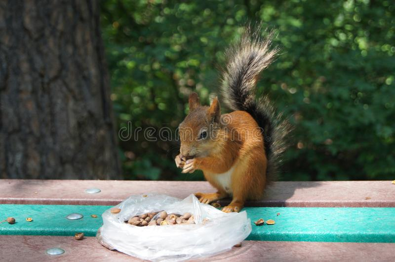 Feeding squirrels royalty free stock photo