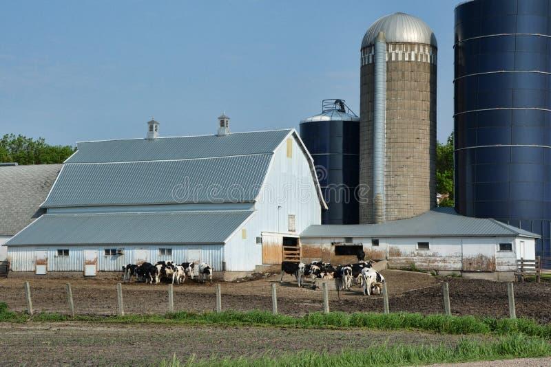 Feeding Steers 3 stock photos