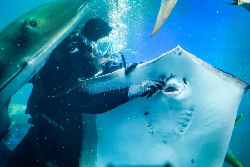 Feeding the stingrays, the aquarium, the diver royalty free stock image