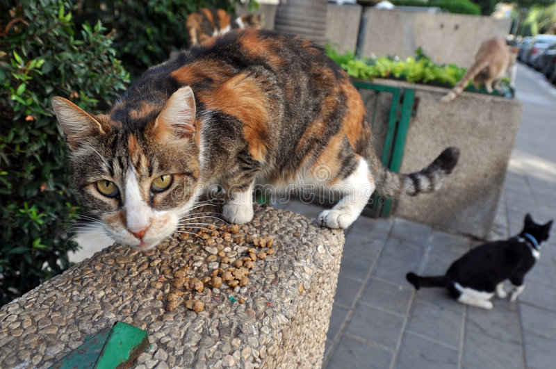 Feeding Stray Cats. A spayed cat eating. Taking responsibility for cats' welfare including responsibility for their neutering or spaying as well as for their royalty free stock photo