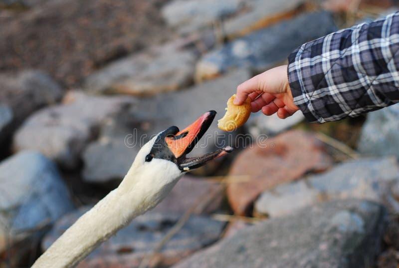 Feeding the swan royalty free stock image